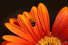 Ladybug Crawls On Orange Petal. Little orange and black ladybug crawls from the edge of an orange flower toward the yellow center Stock Images