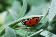 Ladybug crawls upside Stock Images