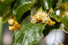 Ladybug creeps on a leaf of a linden tree Stock Image