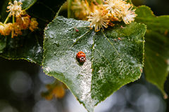 Ladybug creeps on a leaf of a linden tree Stock Photography