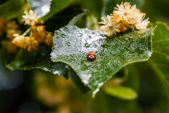 Ladybug creeps on a leaf of a linden tree Royalty Free Stock Photo