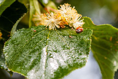 Ladybug creeps on a leaf of a linden tree Royalty Free Stock Photography