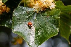 Ladybug creeps on a leaf of a linden tree Stock Images