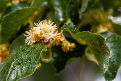 Ladybug creeps on a leaf of a linden tree Royalty Free Stock Images