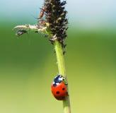 Ladybug. The ladybug creeps on a stalk to a plant louse Royalty Free Stock Image