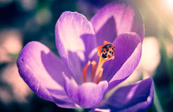 Ladybug on crocus flower Stock Photography