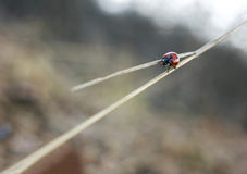 Ladybug at crossroads. Ladybug walking at a crossroads stock photo