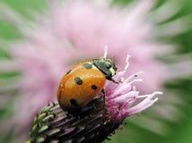 Ladybug cubierto de rocio Foto de archivo libre de regalías