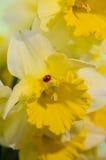 Ladybug on Daffodil. Ladybug sitting on Daffodil flower Royalty Free Stock Image