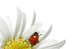 Ladybug on daisy Stock Photo