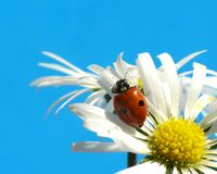 Ladybug on daisy. Blue background Royalty Free Stock Photo