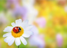 Ladybug on daisy flower Stock Photography