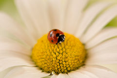 Ladybug on a daisy flower Royalty Free Stock Image