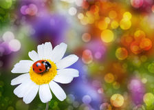 Ladybug on daisy flower Royalty Free Stock Photos