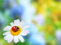 Ladybug on daisy flower Royalty Free Stock Photography