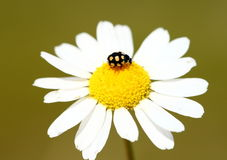 Ladybug on daisy flower Royalty Free Stock Photo