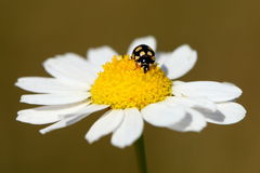 Ladybug on daisy flower Royalty Free Stock Photos