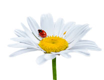 Ladybug on daisy flower. Royalty Free Stock Photo