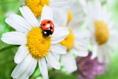 Ladybug on daisy Royalty Free Stock Image