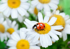 Ladybug on daisy Royalty Free Stock Photography