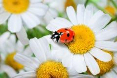 Ladybug on daisy Stock Image