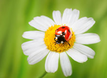 Ladybug on daisy Royalty Free Stock Photos