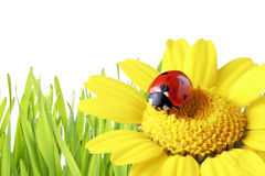 Ladybug in a daisy with grass as background Stock Photos