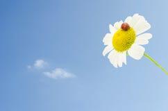 Ladybug on daisy over blue sky Royalty Free Stock Photography
