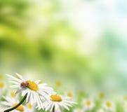 Ladybug and daisy Stock Photography