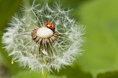 Ladybug on a dandelion stock photography