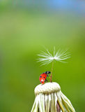 Ladybug and  dandelion Royalty Free Stock Photos