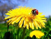 Ladybug on dandelion Stock Photography