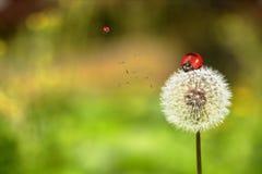 Ladybug and dandelion Stock Image
