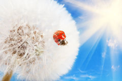 Ladybug on a dandelion Royalty Free Stock Images