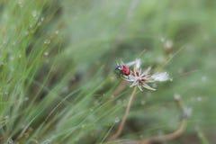 Ladybug and dandelion royalty free stock photo