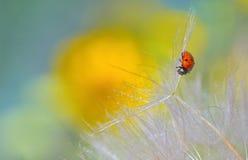 Ladybug on dandelion Stock Images