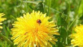 Ladybug on dandelion. Macro shot stock video footage