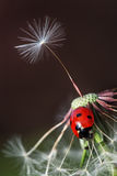 Ladybug and dandelion Stock Images