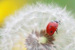 Ladybug and dandelion Stock Photos