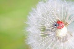 Ladybug and dandelion Royalty Free Stock Images
