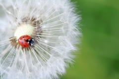 Ladybug and dandelion Stock Images