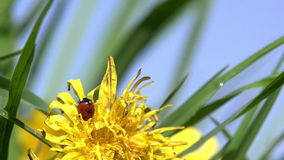 Ladybug on Dandelion. Ladybug sits on a yellow dandelion after rain. Slow Motion at a rate of 240 fps stock video footage
