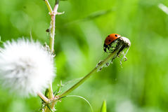 Ladybug on Dandelion Stem Stock Images