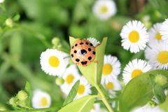 Ladybug. Day nature animal oneanimal  outdoor onpeople closeup Stock Images