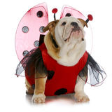 Ladybug del bulldog Fotografie Stock Libere da Diritti