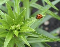 Ladybug del resorte Foto de archivo libre de regalías