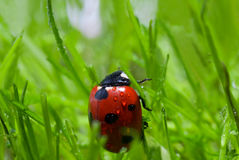 Ladybug with dew Royalty Free Stock Photo