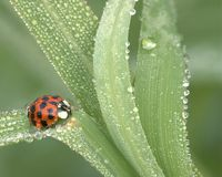 Ladybug In Dew Royalty Free Stock Photos