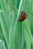 Ladybug with Dew Drop on Back. Ladybug on grass blade with dew drops, one dew drop clinging to the ladybug's back Royalty Free Stock Image