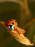 Ladybug di caduta Fotografie Stock Libere da Diritti